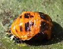 Isopod? - Harmonia axyridis