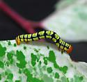 caterpillar - Melanchroia chephise
