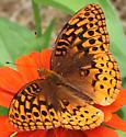 Possible Great Spangled Fritillary - Speyeria cybele - male