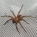 Giant spider - Promyrmekiaphila clathrata - male