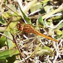 Scarlet Skimmer male - Crocothemis servilia - male
