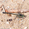 Dragonhunter (Hagenius brevistylus) - Hagenius brevistylus - female