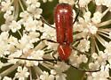 Cerambycidae - Batyle suturalis