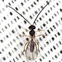 Braconid Wasp - male