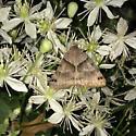 Gray moth - Caenurgina