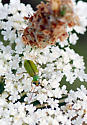 Leaf Beetle? - Diabrotica barberi
