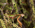 Tenodera sinensis sinensis - Chinese Mantis? - Tenodera sinensis - male