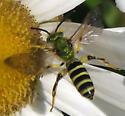 Silky Striped-Sweat Bee - Agapostemon sericeus - male