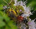 Pollen Machine - Tachytes? - Tachytes - female