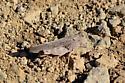 Grasshopper atop Table Mountain - Arphia conspersa - female