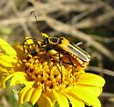 Chauliognathus - Chauliognathus omissus - male - female