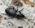 Black ground beetle - Pterostichus melanarius