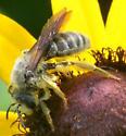 bee - Andrena rudbeckiae