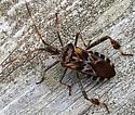 Western Conifer Seed Bug (Leptoglossus occidentalis)? - Leptoglossus occidentalis