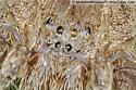 Pisaurina eye arrangement - Pisaurina mira