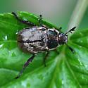 Oriental beetle_dark form  - Exomala orientalis