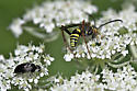 Wasp with very long legs - Ceropales maculata - male