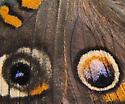 Nymphalidae, Buckeye - Junonia coenia