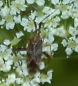 Nectaring on Cicuta maculata - Neurocolpus