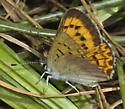 Mt Eddy Butterfly - Lycaena helloides