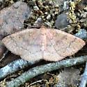 Black-dotted Ruddy Moth - 6711 - Dorsal - Ilexia intractata - female