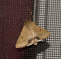 moth_24 - Helicoverpa zea