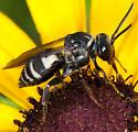 Cuckoo bee? - Triepeolus lunatus