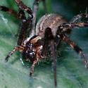 hosta spider 0900