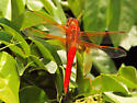 bright red skimmer - Libellula croceipennis - male