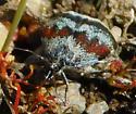 Moth - Anatralata versicolor