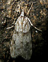 Moth 21 - Scoparia biplagialis