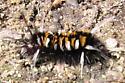 Shaggy Caterpillar - Euchaetes