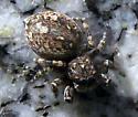 Jumping Spider - Attulus pubescens