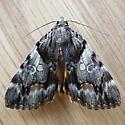 Charming Underwing (Catocala blandula)  - Catocala blandula