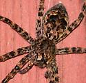 Fishing Spider at Hummingbird Feeder - Dolomedes tenebrosus