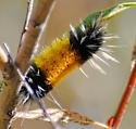 Caterpillar - Lophocampa maculata