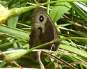 Northern Pearly Eye? - Cercyonis pegala