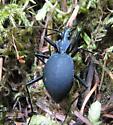 beetle - Scaphinotus angusticollis