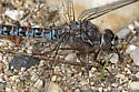 Another Churchill Darner picture - Aeshna sitchensis