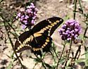 Giant Swallowtail? - Papilio rumiko