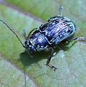 Genus Pachybrachis - Scriptured Leaf Beetles - Pachybrachis