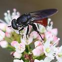 Distinctly marked fly nectaring on Kalmia buxifolia - Chalcosyrphus?  libo?? - Chalcosyrphus piger
