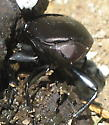 Onthophagus hecate - Scooped Scarab?