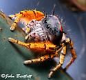 Phidippus mystaceus - male