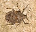 Parabrochymena arborea - Brochymena arborea