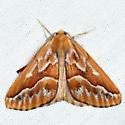 Northern Pine Looper - Caripeta piniata - male