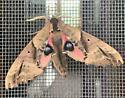 Blind-eyed Sphinx moth? - Paonias excaecata