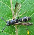 Mason Wasp with pollinia