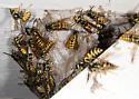 German Yellowjackets at a Nest - Vespula germanica