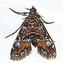 Synclita obliteralis - 4755 - Elophila obliteralis